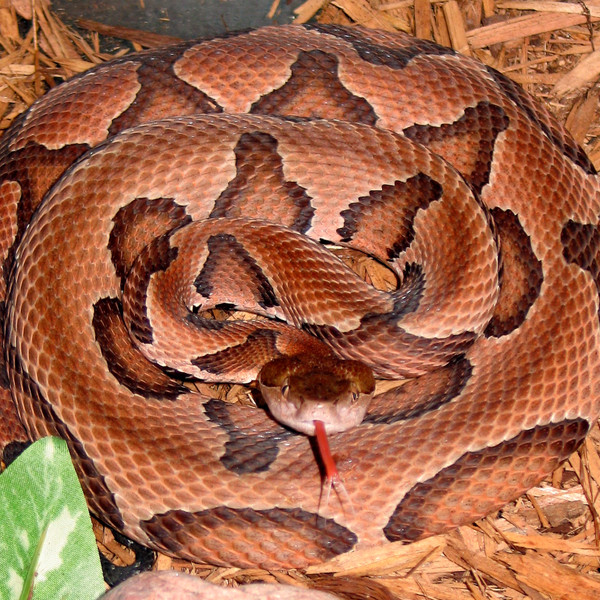 Local Girl Bitten By A Deadly Copperhead Snake Joins Paul Woody